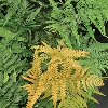 Golden Mist Fern