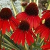 Firebird Coneflower