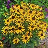 Little Star Rudbeckia