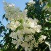 Boulevard Japanese Tree Lilac