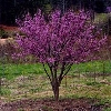 Ace of Hearts Dwarf Redbud
