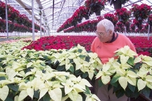 Peter Picking Perfect Poinsettias